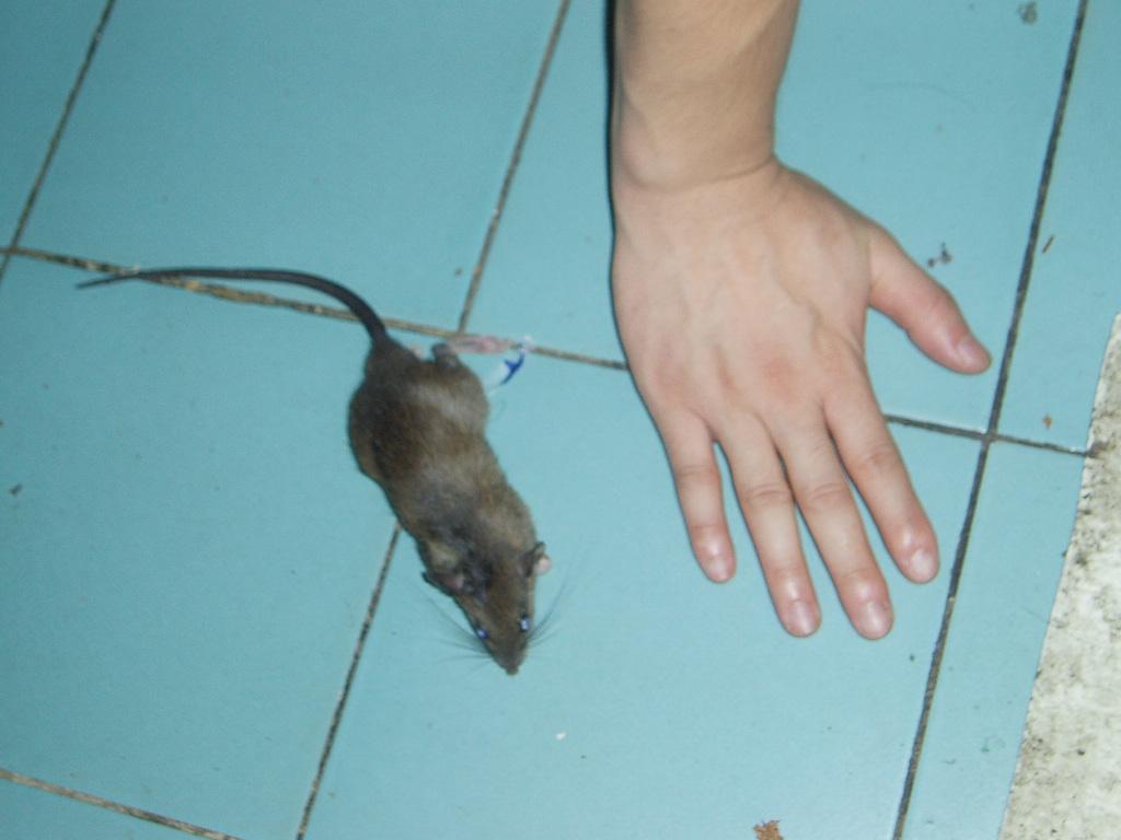 老鼠马桶gif