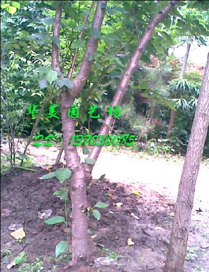 大型 樱桃树 果树苗木 内有实物图片更 园艺团购图片