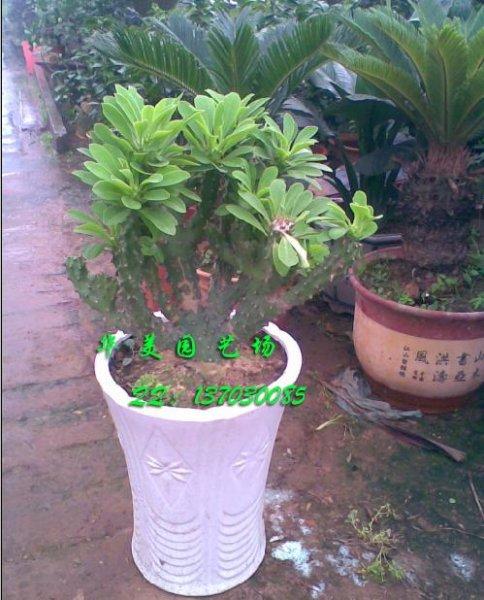 玉麒麟植物
