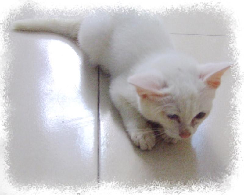 集粘人可爱调皮一身的小白猫找好心人领养