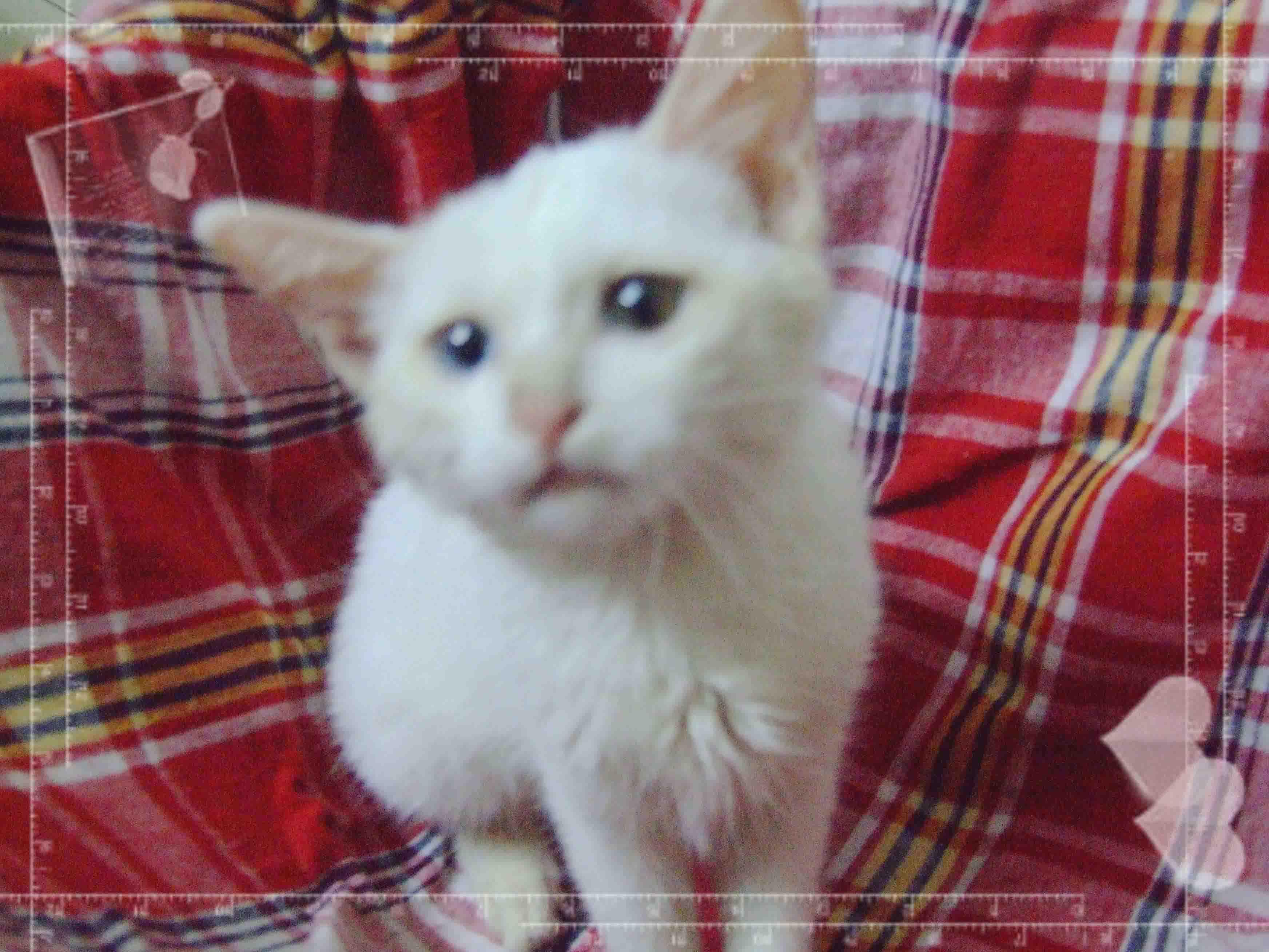> 集粘人可爱调皮一身的小白猫找好心人领养
