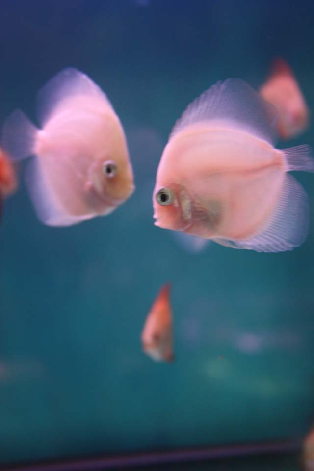 壁纸 动物 鱼 鱼类 640_960 竖版 竖屏 手机
