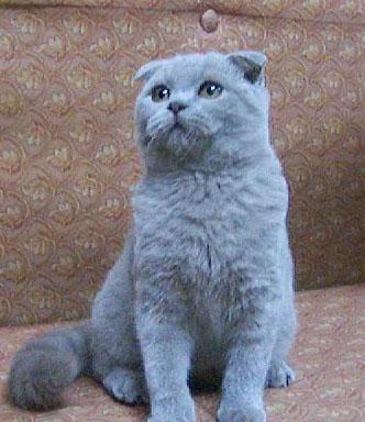 纯蓝色苏格兰折耳猫在线视频;