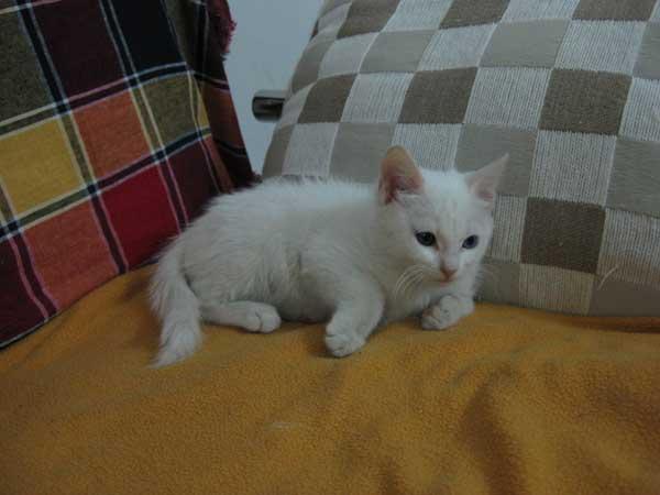 像我这样的小可爱---纯白色中长毛鸳鸯眼的小美丽寻