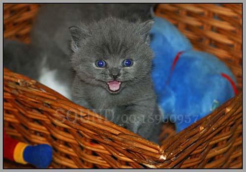 > 楞楞的小可爱~英短猫