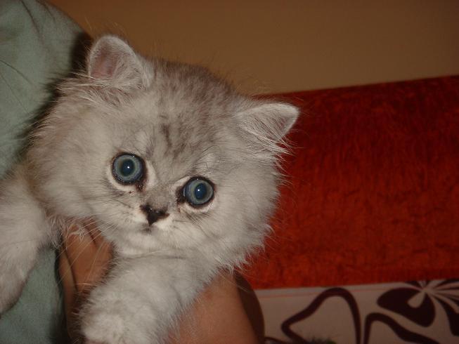 可爱大脸小猫头像