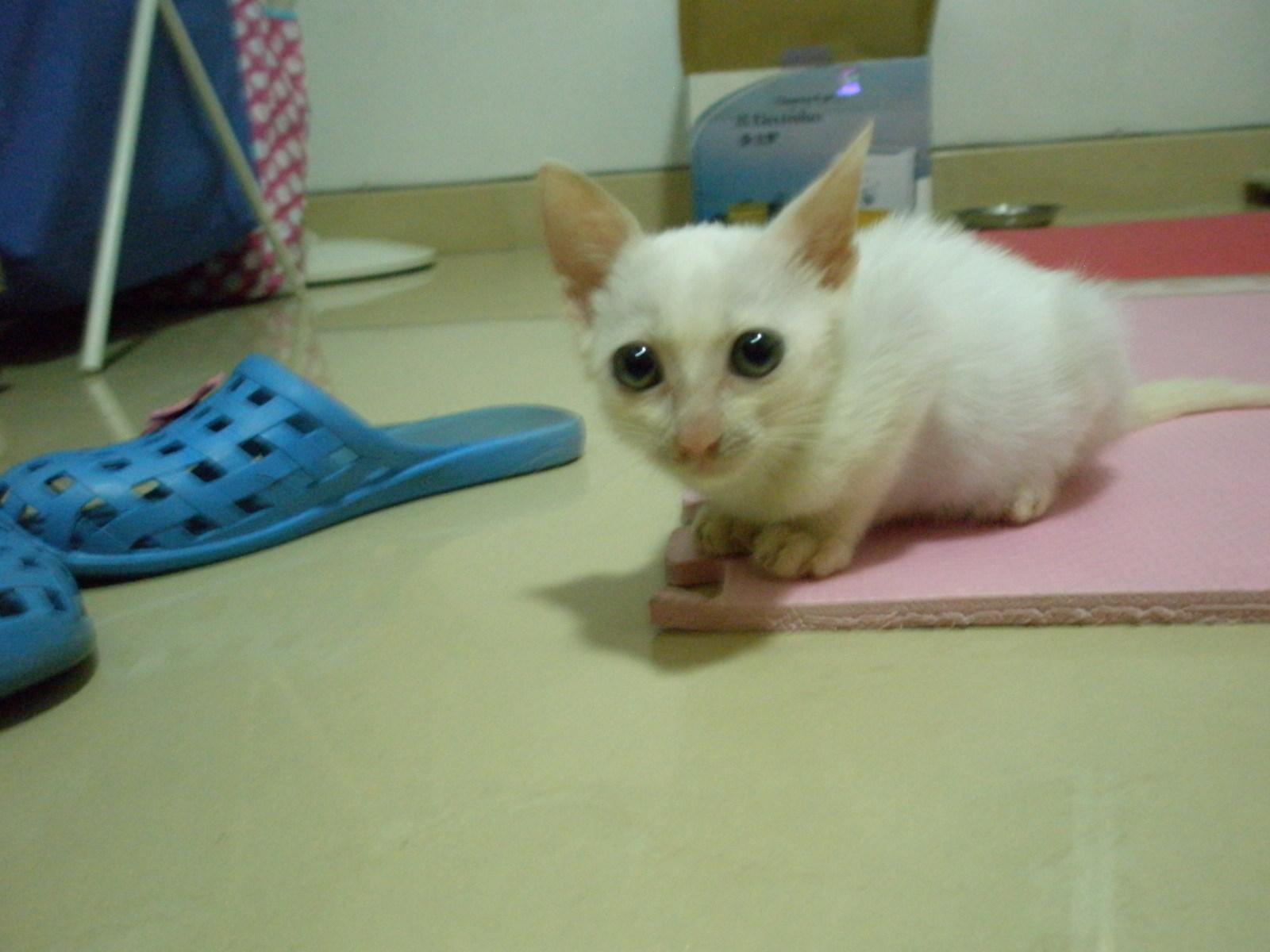 可爱小白猫,等待领养_猫咪乐园