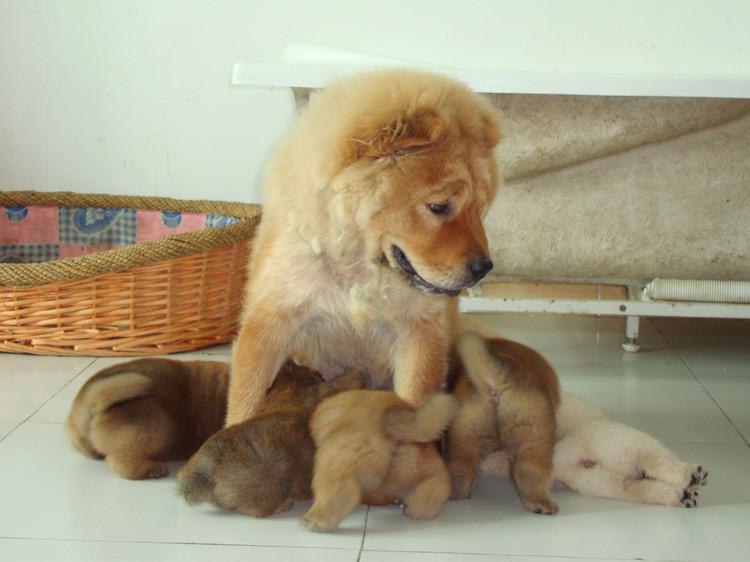 > 出售5只家养小松狮~~~都很可爱哦