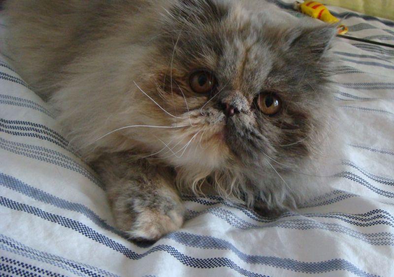 > 超多可爱的猫猫求领养~~ 波斯,加菲也有噢.