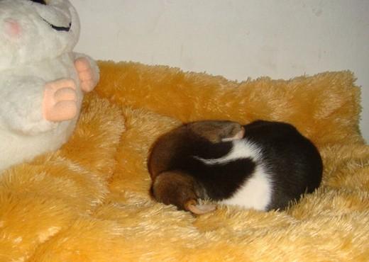 > 深圳小张出售漂亮可爱的小比格犬.有售后服务.