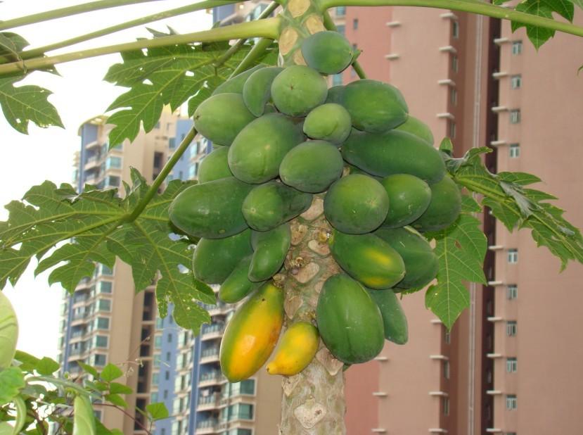 咱家这颗木瓜树就是去年超市买回的
