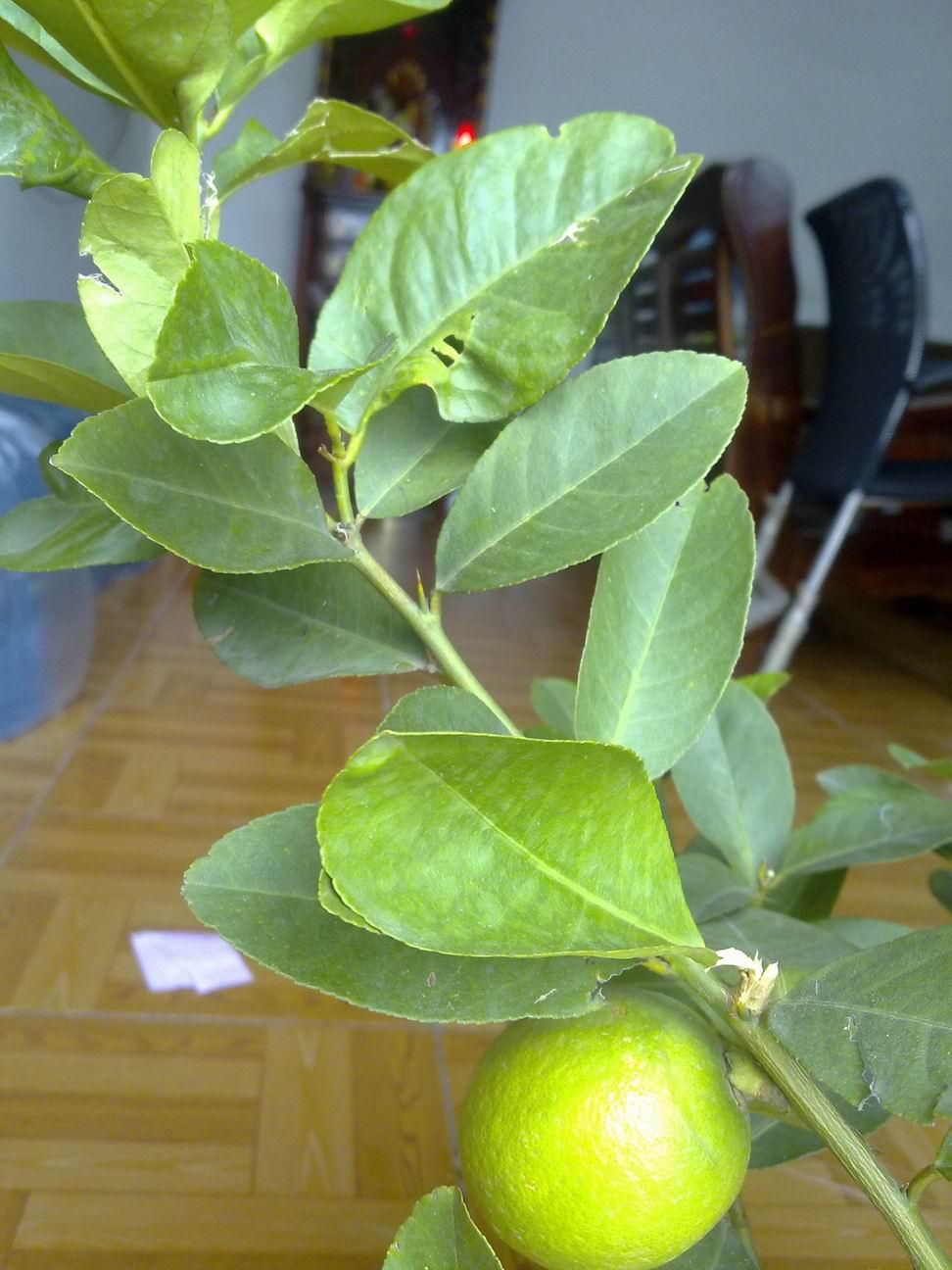 柠檬的叶子不知是什么原因!