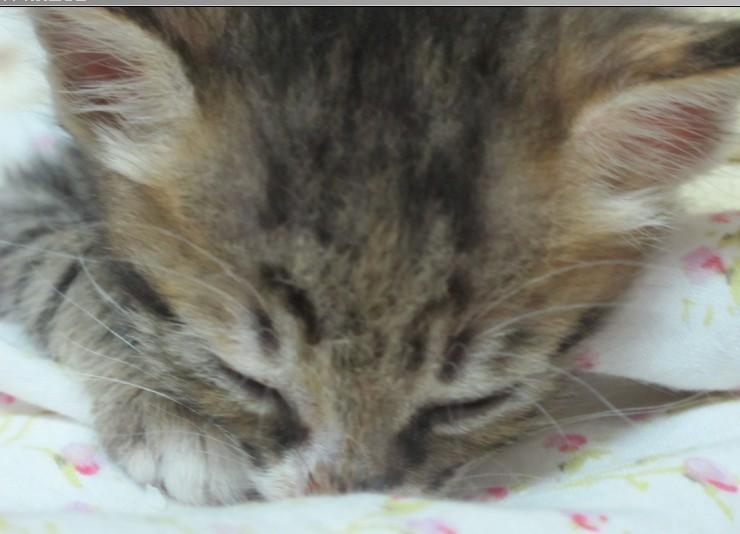 1个多月健康超级无敌可爱小猫咪送养~