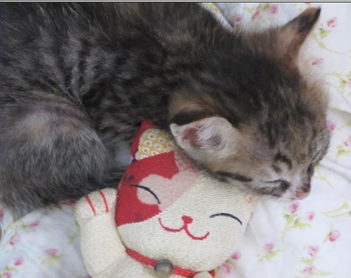 > 1个多月健康超级无敌可爱小猫咪送养~ 另外免费赠送猫砂,奶粉,猫铲