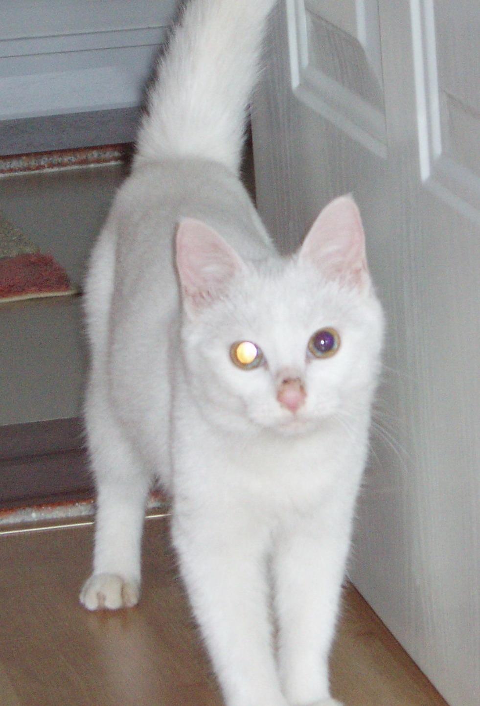 可爱粘人的小白猫等领养