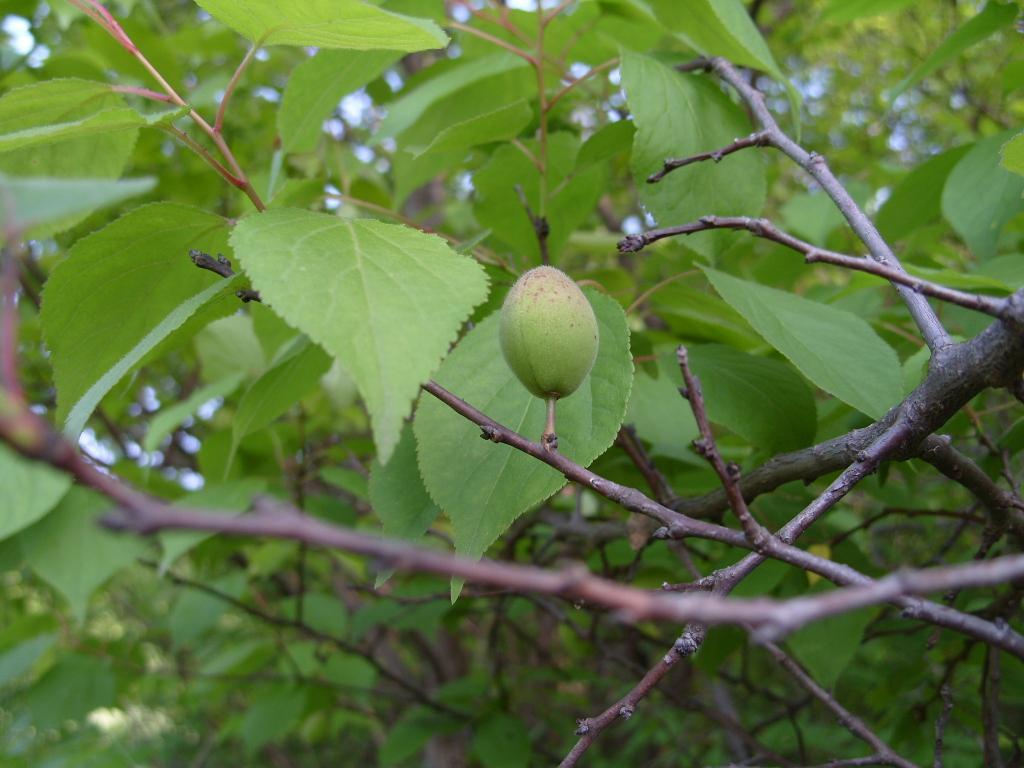 杏树什么时候施肥