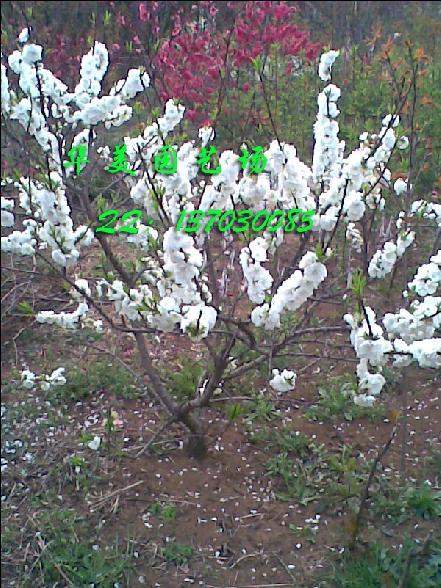 大型 樱桃树 果树苗木 内有实物图片更多品种 请查看图片