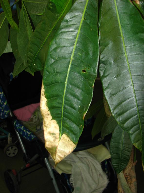 坛子里的高手们有空帮看看,我家的两棵发财树比人还高以前都是半个月至一个月才浇水的,大概半月前浇了一次水肥,就是用那种三元一袋的花肥王大概用了30克左右兑水1000克分别浇在两棵发财树的根部,怎么前几天叶子就开始发黄,有的像是什么虫吃了一样,半边叶子都黄烂了。怕是光照不够三天前我还把它从三楼搬到一楼空旷地晒了一天并在叶子上喷了好多水,这几天黄得厉害估计发财树五分之一的叶子都开始变黄了。。。。。怎么办啊高手们,是什么原因引起的,有什么补救措施吗?谢谢了。