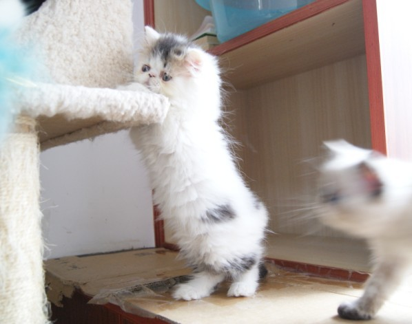 时尚新宠---可爱好玩的小加菲猫(异国短毛猫)宝宝出售.