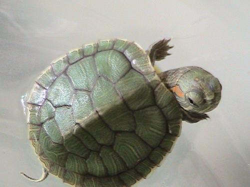 小孩买的乌龟是什么品种啊 帮忙看看